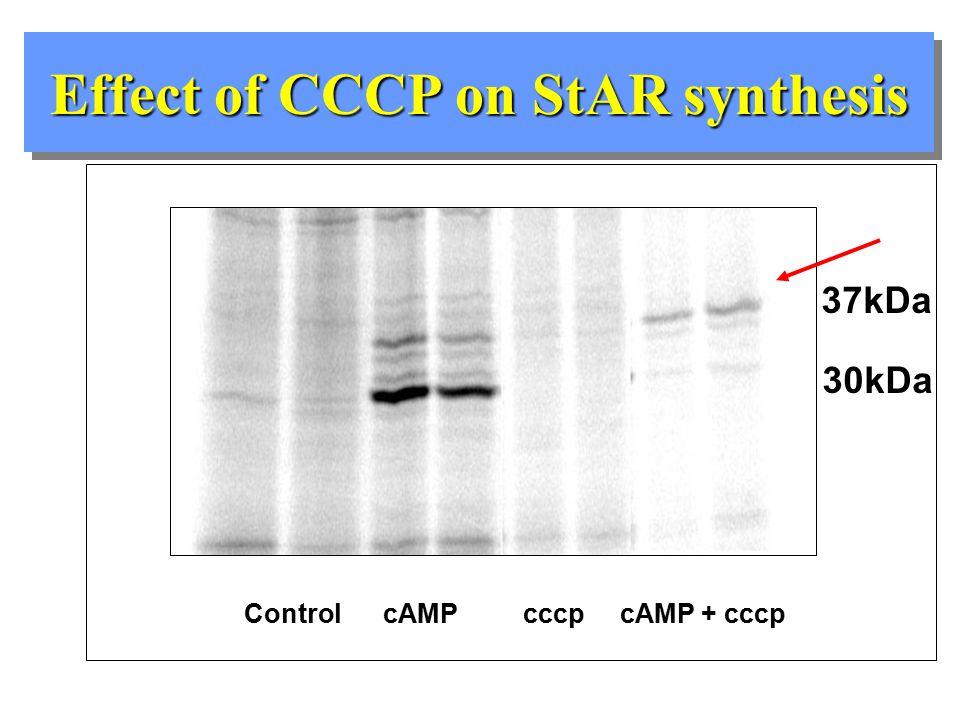 concAcA+cccp StAR cyclophilin 3.4 kB 1.6 kB 2.9 kB Effect of CCCP on StAR mRNA