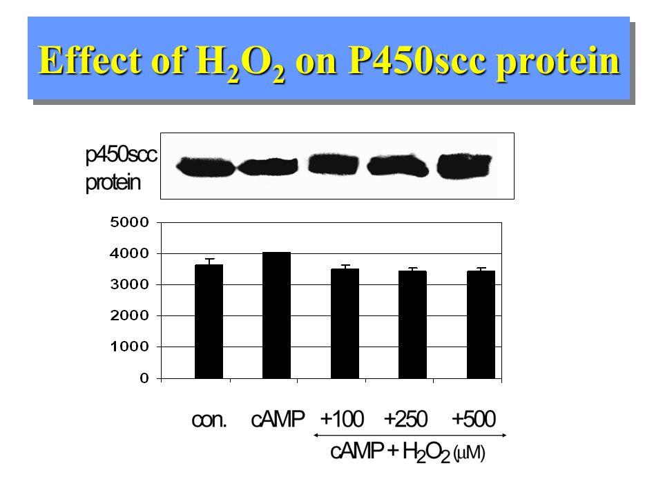 Effect of H 2 O 2 on StAR mRNA Northern Blot StAR mRNA Contr.cAMP.100200250500 Cyclophilin mRNA
