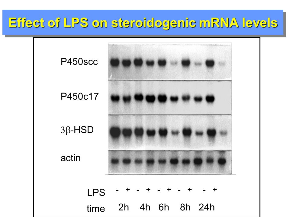 Effect of LPS on steroidogenic mRNA levels P450scc P450c17 3  - HSD actin LPS - + - + - + - + - + time 2h 4h 6h 8h 24h