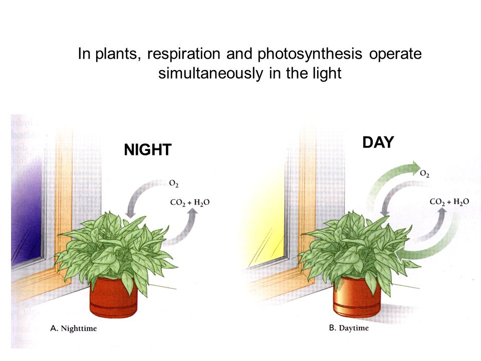 In plants, respiration and photosynthesis operate simultaneously in the light NIGHT DAY