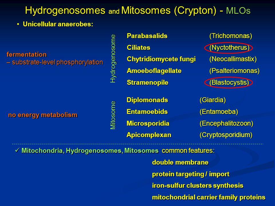 Hydrogenosomes and Mitosomes (Crypton) - MLOs Unicellular anaerobes: Unicellular anaerobes: Parabasalids(Trichomonas) Ciliates(Nyctotherus) Chytridiomycete fungi(Neocallimastix) Amoeboflagellate(Psalteriomonas) Stramenopile(Blastocystis) Hydrogenosome Mitosome fermentation – substrate-level phosphorylation no energy metabolism Mitochondria, Hydrogenosomes, Mitosomes common features: Mitochondria, Hydrogenosomes, Mitosomes common features: double membrane protein targeting / import iron-sulfur clusters synthesis mitochondrial carrier family proteins Diplomonads (Giardia) Entamoebids (Entamoeba) Microsporidia (Encephalitozoon) Apicomplexan (Cryptosporidium)
