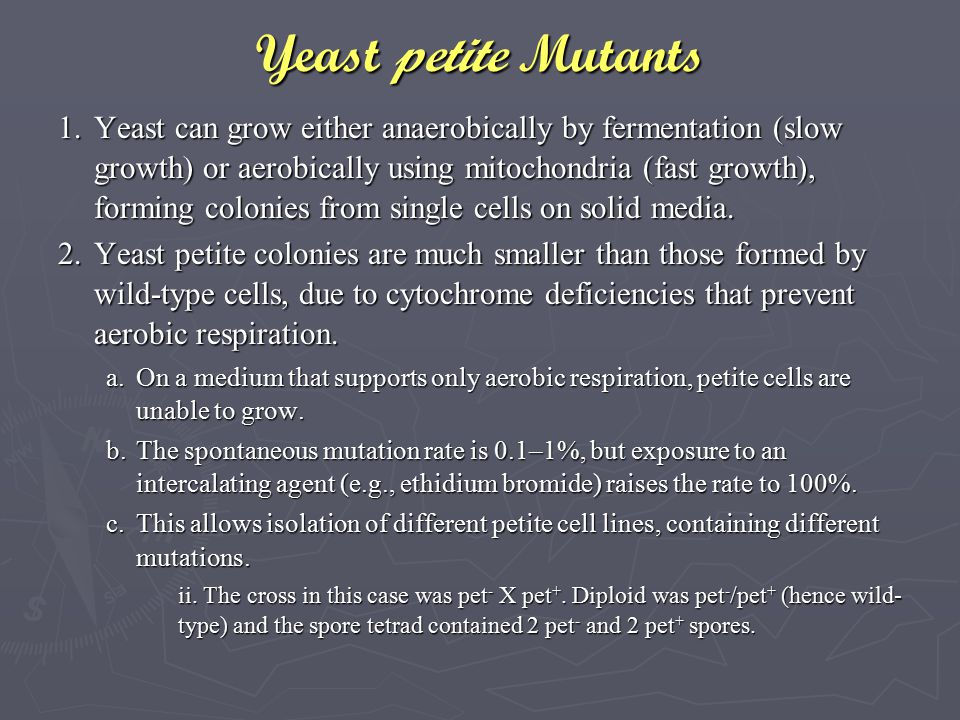Yeast petite Mutants 1.Yeast can grow either anaerobically by fermentation (slow growth) or aerobically using mitochondria (fast growth), forming colo