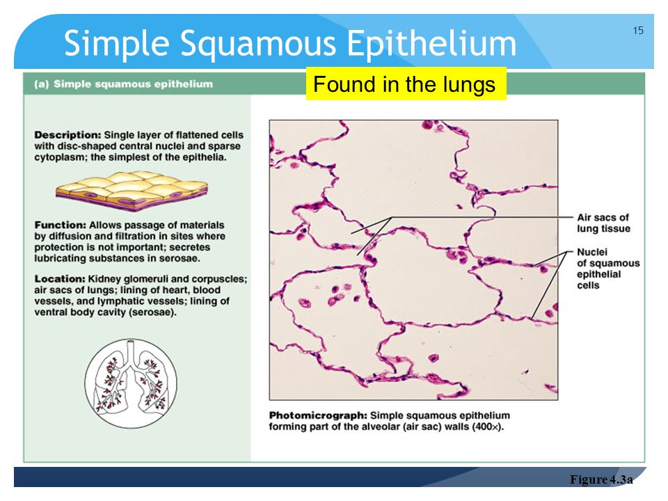 Simple Squamous Epithelium Figure 4.3a Found in the lungs 15