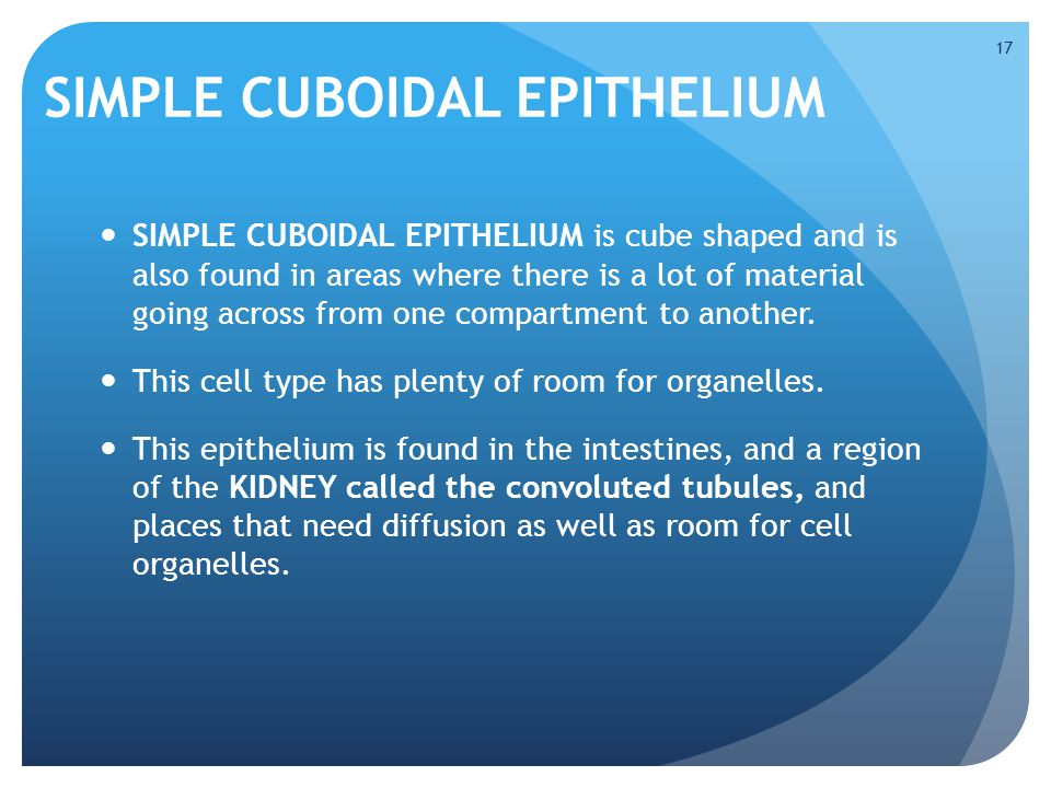 SIMPLE CUBOIDAL EPITHELIUM SIMPLE CUBOIDAL EPITHELIUM is cube shaped and is also found in areas where there is a lot of material going across from one