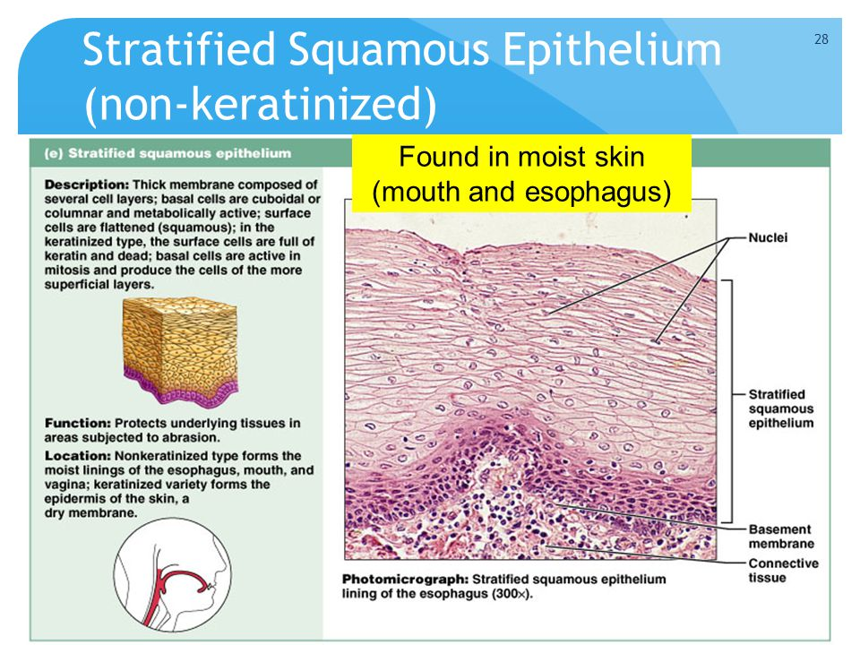 Stratified Squamous Epithelium (non-keratinized) Figure 4.3e Found in moist skin (mouth and esophagus) 28