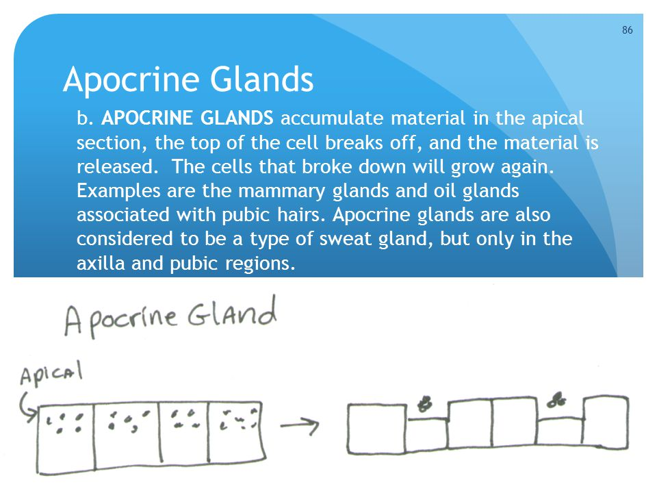 Apocrine Glands b. APOCRINE GLANDS accumulate material in the apical section, the top of the cell breaks off, and the material is released. The cells