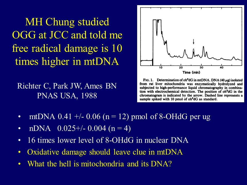 mtDNA 0.41 +/- 0.06 (n = 12) pmol of 8-OHdG per ug nDNA 0.025+/- 0.004 (n = 4) 16 times lower level of 8-OHdG in nuclear DNA Oxidative damage should leave clue in mtDNA What the hell is mitochondria and its DNA.