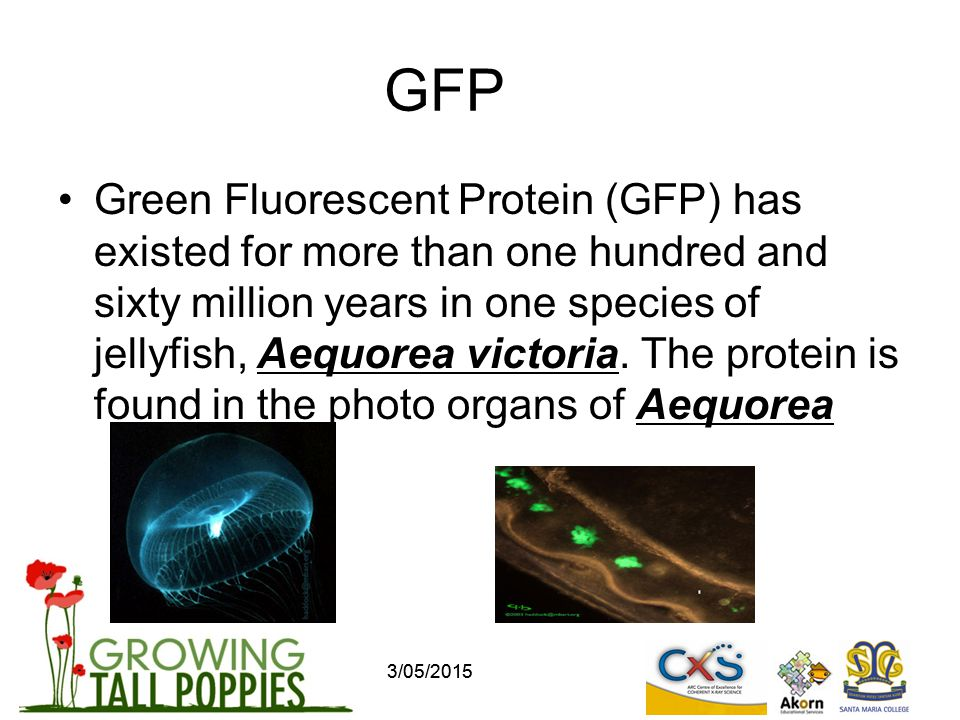 GFP Green Fluorescent Protein (GFP) has existed for more than one hundred and sixty million years in one species of jellyfish, Aequorea victoria.