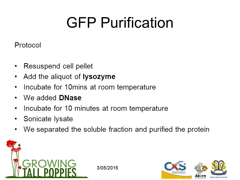 GFP Purification Protocol Resuspend cell pellet Add the aliquot of lysozyme Incubate for 10mins at room temperature We added DNase Incubate for 10 minutes at room temperature Sonicate lysate We separated the soluble fraction and purified the protein 3/05/2015
