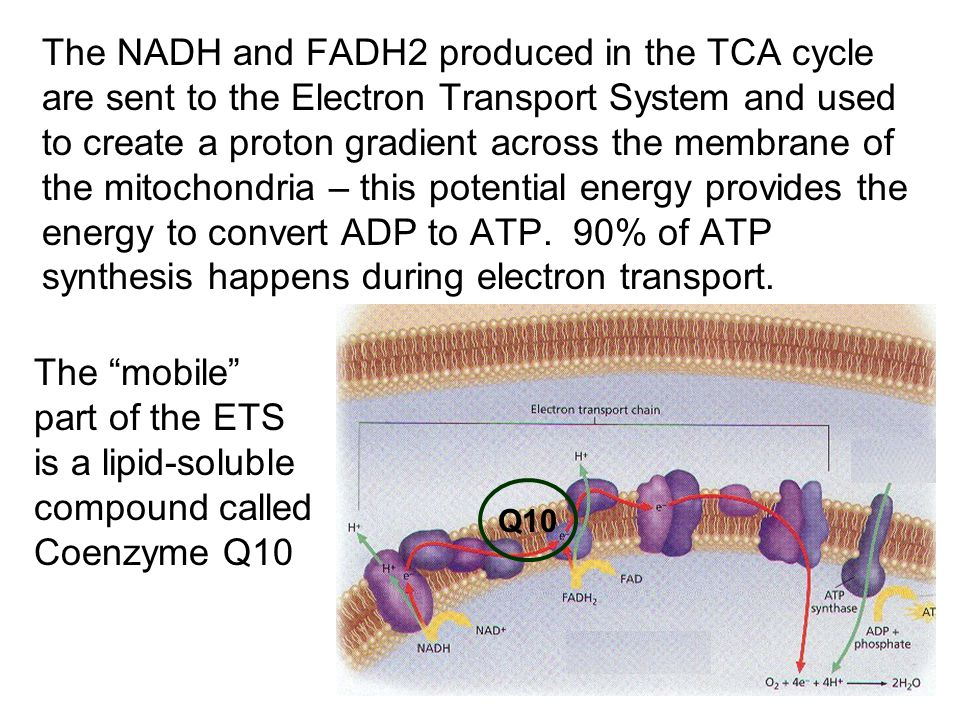 The NADH and FADH2 produced in the TCA cycle are sent to the Electron Transport System and used to create a proton gradient across the membrane of the mitochondria – this potential energy provides the energy to convert ADP to ATP.