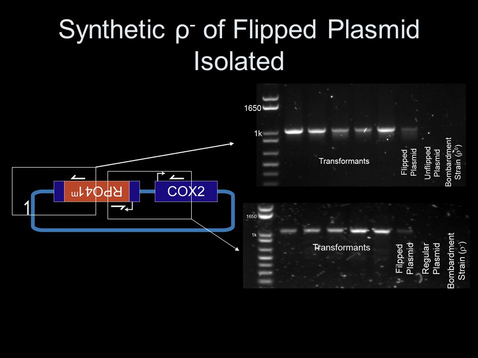 Synthetic ρ - of Flipped Plasmid Isolated