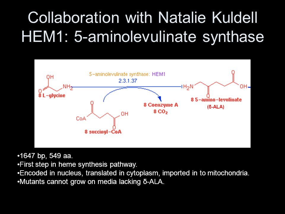 Collaboration with Natalie Kuldell HEM1: 5-aminolevulinate synthase 1647 bp, 549 aa. First step in heme synthesis pathway. Encoded in nucleus, transla