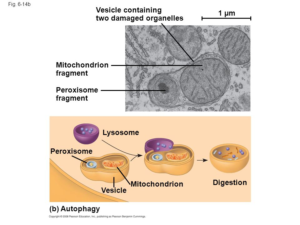 Fig. 6-14b Vesicle containing two damaged organelles Mitochondrion fragment Peroxisome fragment Peroxisome Lysosome Digestion Mitochondrion Vesicle (b