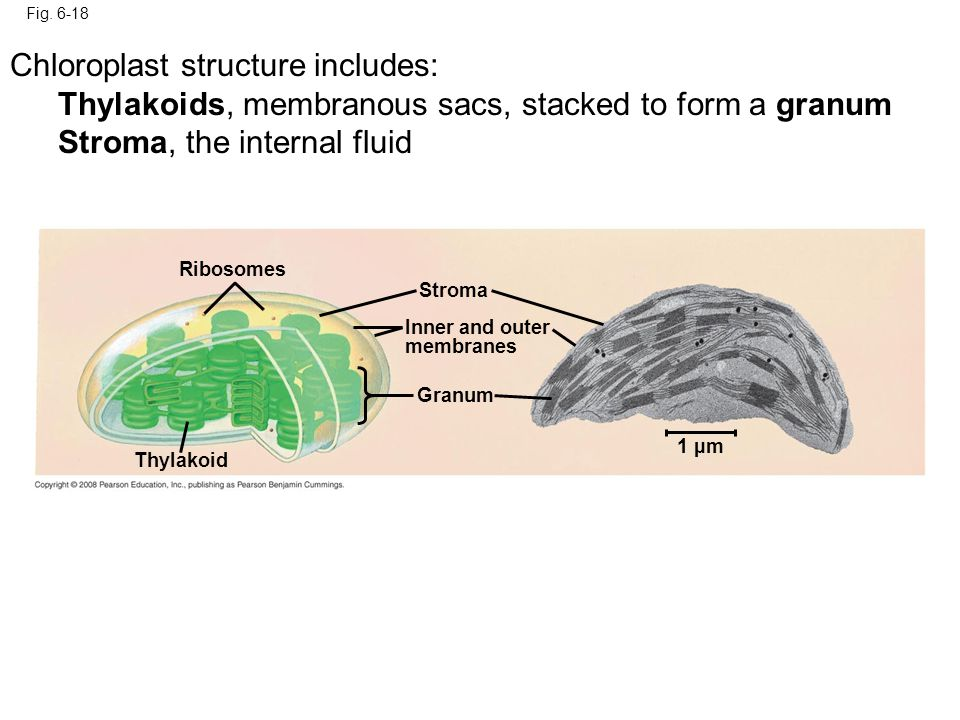 Fig. 6-18 Ribosomes Thylakoid Stroma Granum Inner and outer membranes 1 µm Chloroplast structure includes: Thylakoids, membranous sacs, stacked to for