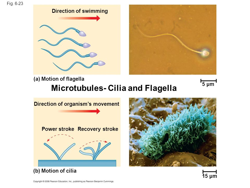 Fig. 6-23 5 µm Direction of swimming (a) Motion of flagella Direction of organism's movement Power strokeRecovery stroke (b) Motion of cilia 15 µm Mic
