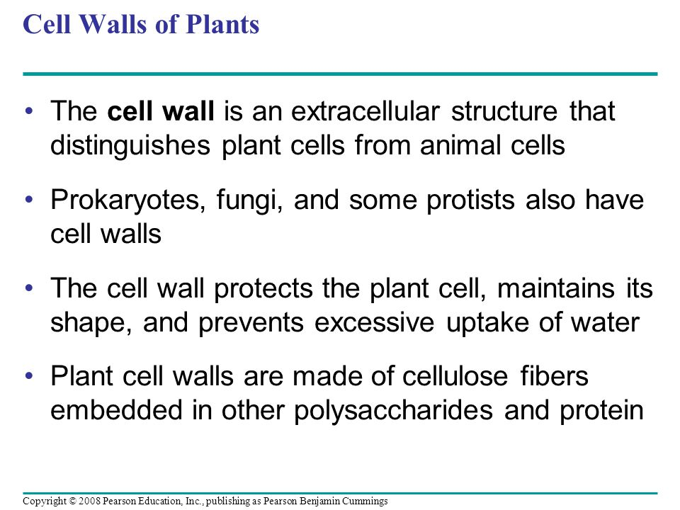 Cell Walls of Plants The cell wall is an extracellular structure that distinguishes plant cells from animal cells Prokaryotes, fungi, and some protist