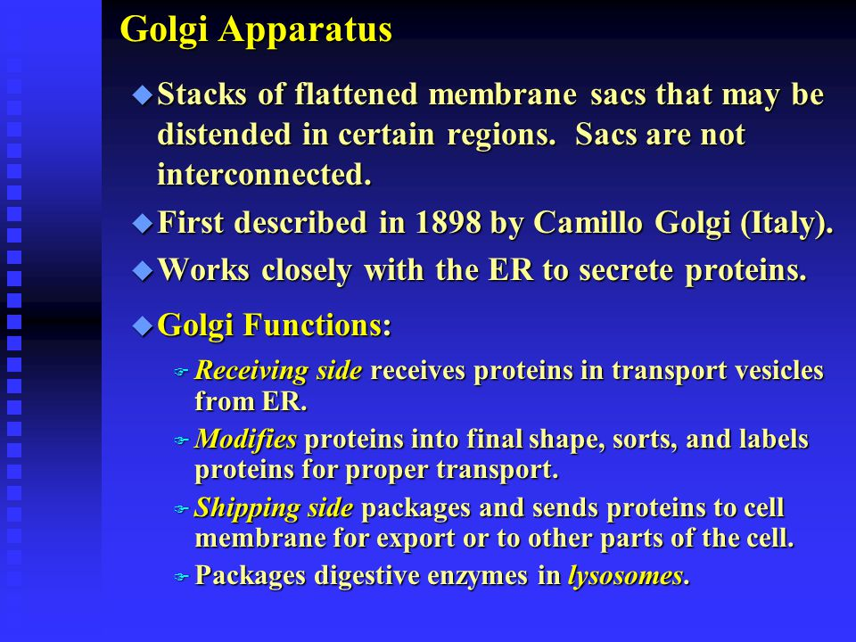 Golgi Apparatus u Stacks of flattened membrane sacs that may be distended in certain regions. Sacs are not interconnected. u First described in 1898 b