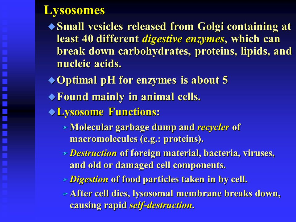 Lysosomes u Small vesicles released from Golgi containing at least 40 different digestive enzymes, which can break down carbohydrates, proteins, lipid