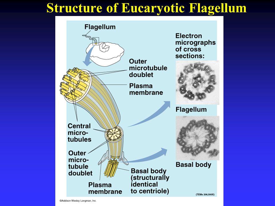 Structure of Eucaryotic Flagellum