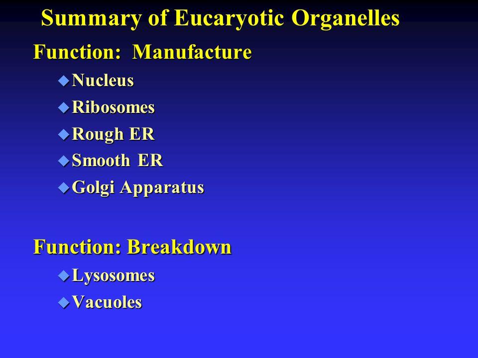 Summary of Eucaryotic Organelles Function: Manufacture u Nucleus u Ribosomes u Rough ER u Smooth ER u Golgi Apparatus Function: Breakdown u Lysosomes