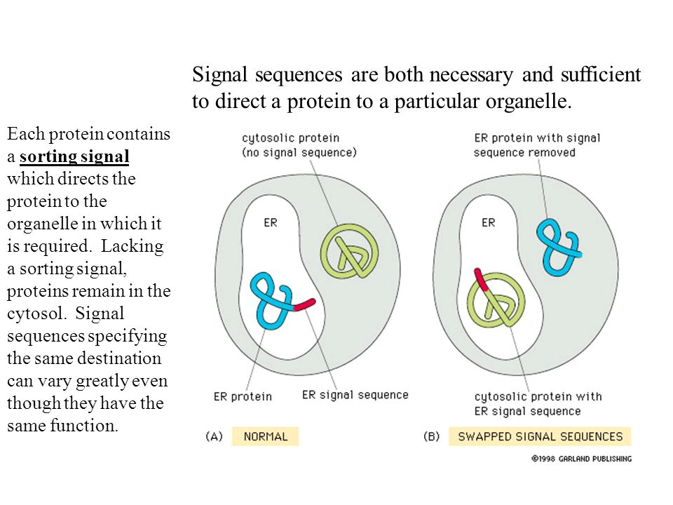 Each protein contains a sorting signal which directs the protein to the organelle in which it is required.