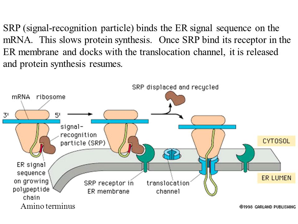 SRP (signal-recognition particle) binds the ER signal sequence on the mRNA.