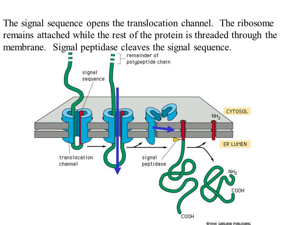 The signal sequence opens the translocation channel.