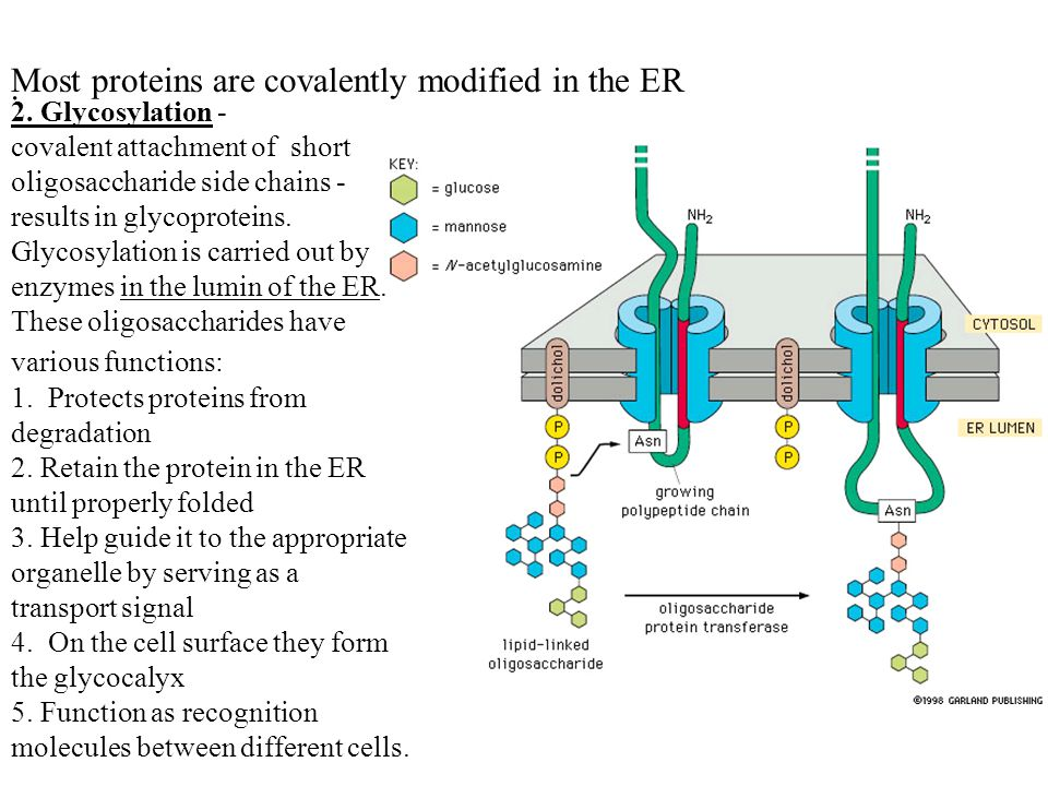 Most proteins are covalently modified in the ER 2.