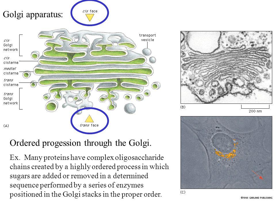 Golgi apparatus: Ordered progession through the Golgi.