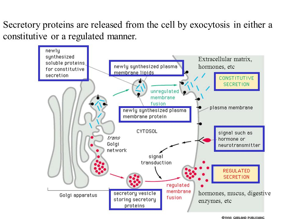 Secretory proteins are released from the cell by exocytosis in either a constitutive or a regulated manner.