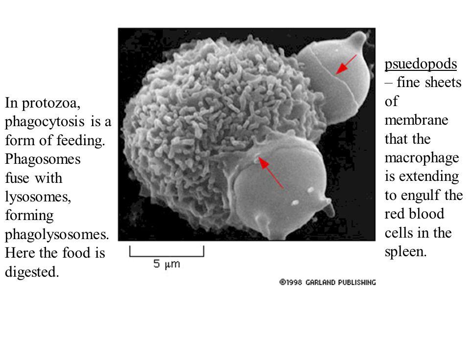 In protozoa, phagocytosis is a form of feeding.