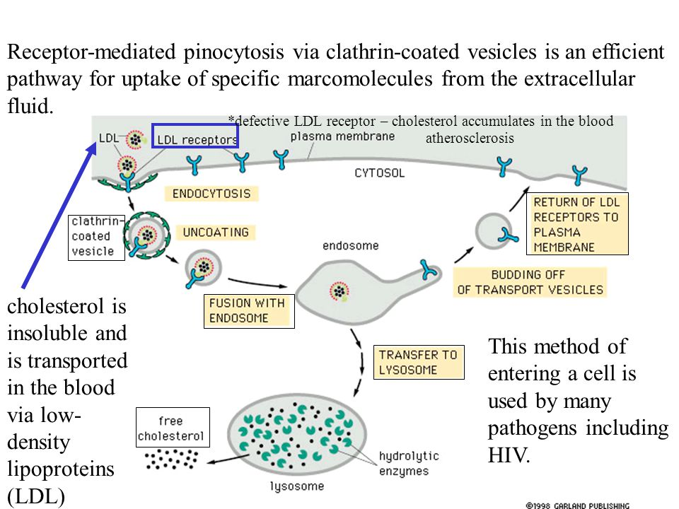 Receptor-mediated pinocytosis via clathrin-coated vesicles is an efficient pathway for uptake of specific marcomolecules from the extracellular fluid.