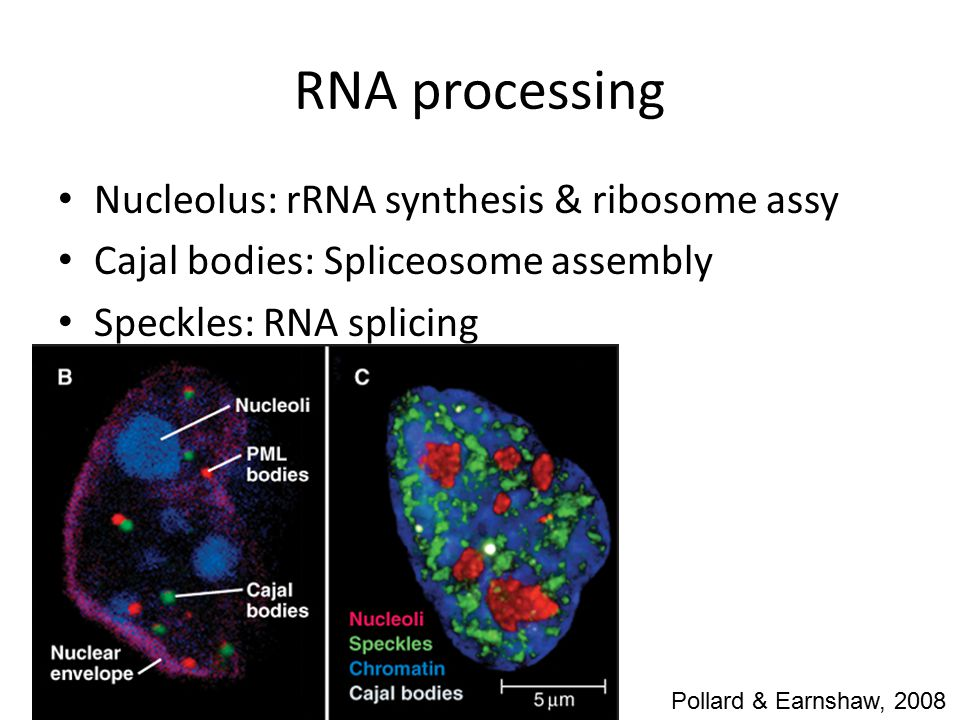 RNA processing Nucleolus: rRNA synthesis & ribosome assy Cajal bodies: Spliceosome assembly Speckles: RNA splicing Pollard & Earnshaw, 2008