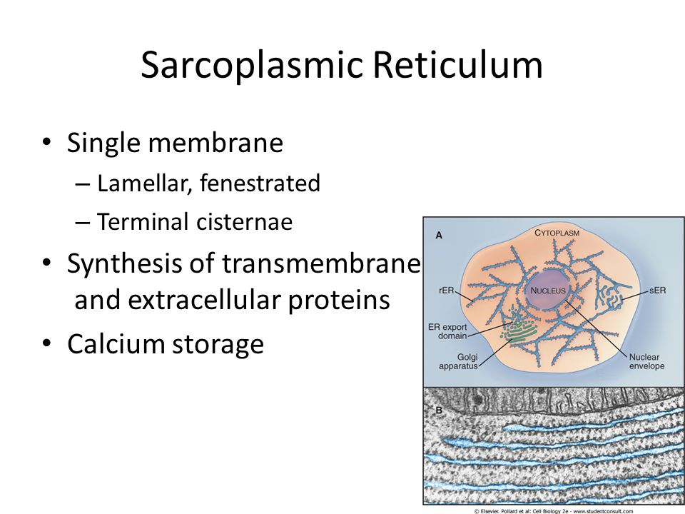 Sarcoplasmic Reticulum Single membrane – Lamellar, fenestrated – Terminal cisternae Synthesis of transmembrane and extracellular proteins Calcium stor