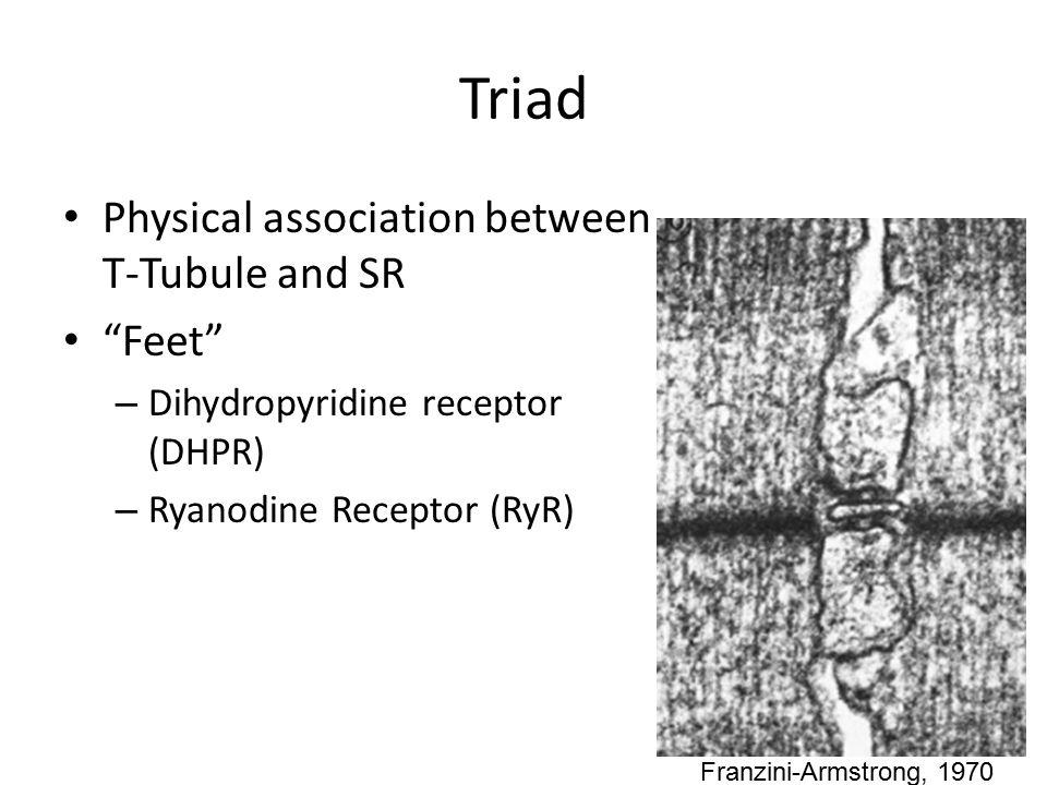 Triad Physical association between T-Tubule and SR Feet – Dihydropyridine receptor (DHPR) – Ryanodine Receptor (RyR) Franzini-Armstrong, 1970