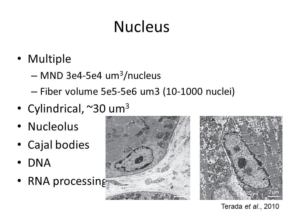 Nucleus Multiple – MND 3e4-5e4 um 3 /nucleus – Fiber volume 5e5-5e6 um3 (10-1000 nuclei) Cylindrical, ~30 um 3 Nucleolus Cajal bodies DNA RNA processing Terada et al., 2010