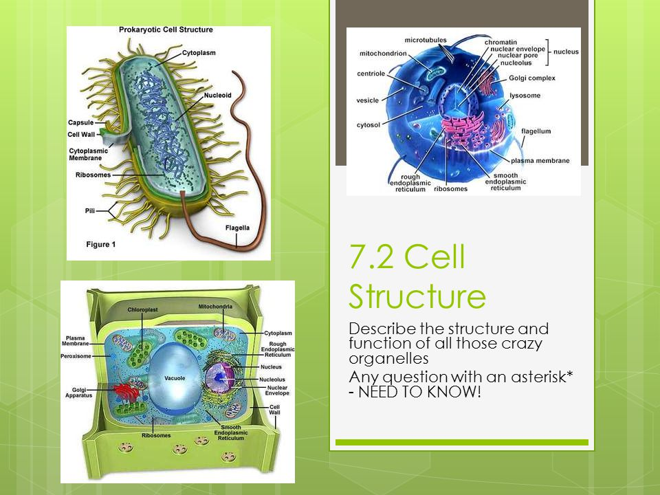 7.2 Cell Structure Describe the structure and function of all those crazy organelles Any question with an asterisk* - NEED TO KNOW!