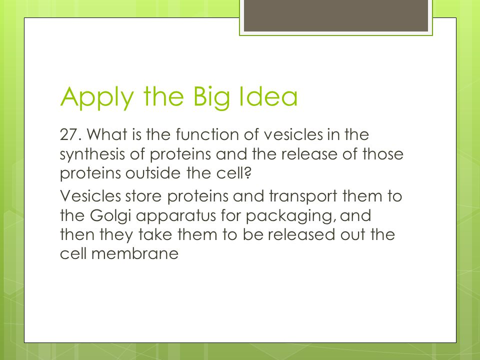 Apply the Big Idea 27. What is the function of vesicles in the synthesis of proteins and the release of those proteins outside the cell? Vesicles stor