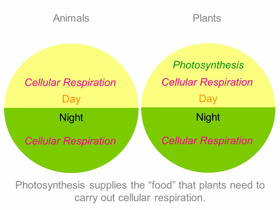 Day Night Photosynthesis Cellular Respiration Day Night Cellular Respiration AnimalsPlants Photosynthesis supplies the food that plants need to carry out cellular respiration.