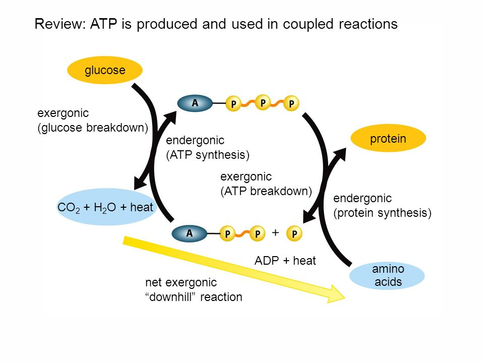 net exergonic downhill reaction glucose protein amino acids CO 2 + H 2 O + heat ADP + heat Review: ATP is produced and used in coupled reactions endergonic (ATP synthesis) exergonic (ATP breakdown) exergonic (glucose breakdown) endergonic (protein synthesis)