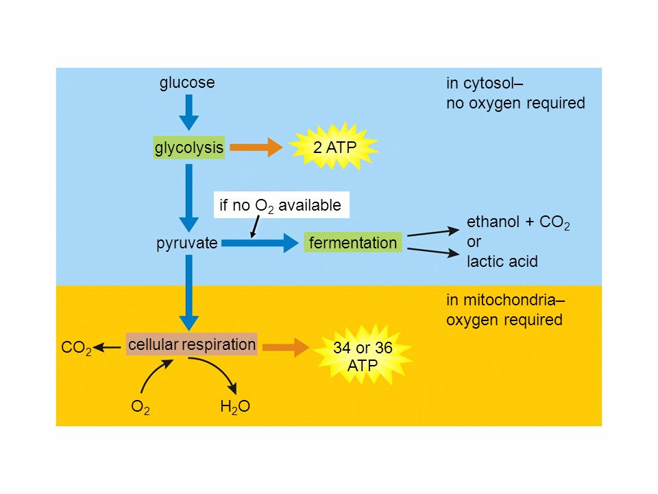 34 or 36 ATP in mitochondria– oxygen required in cytosol– no oxygen required glycolysis glucose fermentationpyruvate 2 ATP cellular respiration O2O2 if no O 2 available ethanol + CO 2 or lactic acid CO 2 H2OH2O