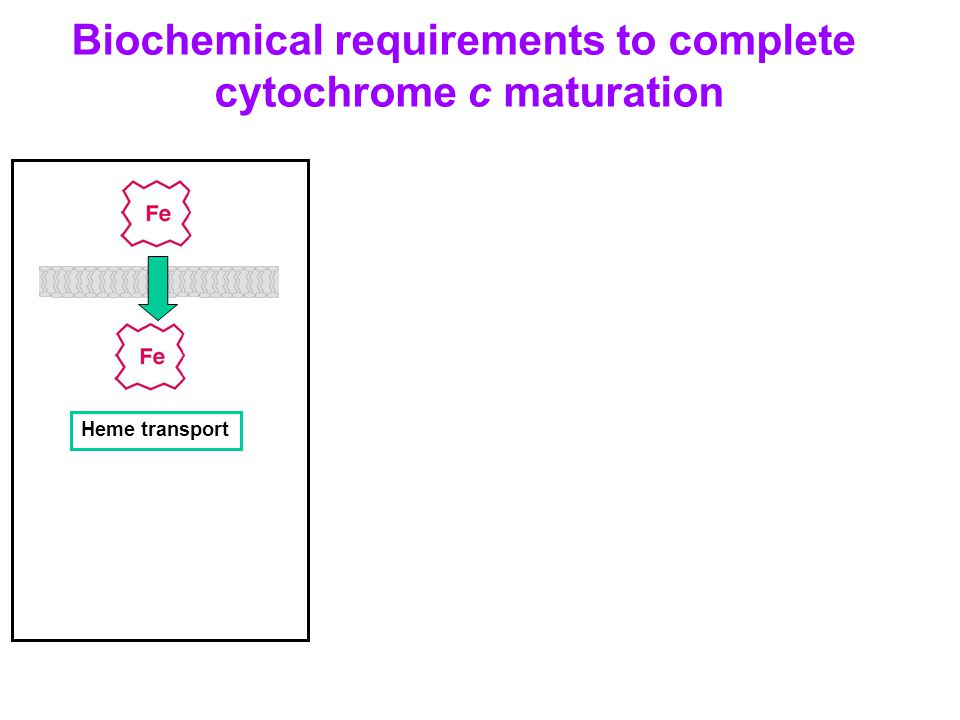 Biochemical requirements to complete cytochrome c maturation Heme transport