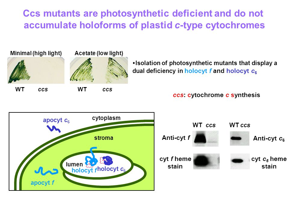WTccsWTccs Minimal (high light)Acetate (low light)  Isolation of photosynthetic mutants that display a dual deficiency in holocyt f and holocyt c 6 Ccs mutants are photosynthetic deficient and do not accumulate holoforms of plastid c-type cytochromes stroma thylakoid lumen cytoplasm lumen holocyt c 6 holocyt f apocyt f apocyt c 6 WT ccs: cytochrome c synthesis WTccs Anti-cyt f cyt f heme stain Anti-cyt c 6 cyt c 6 heme stain
