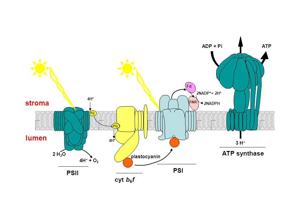 PQ 2 H 2 O 4H + + O 2 3 H + ADP + Pi ATP Fd cyt b 6 f PSI PSII ATP synthase stroma 4H + 2NADP + + 2H + 2NADPH FNR PQ plastocyanin lumen