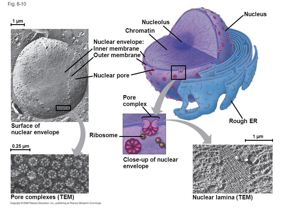 Fig. 6-10 Nucleolus Nucleus Rough ER Nuclear lamina (TEM) Close-up of nuclear envelope 1 µm 0.25 µm Ribosome Pore complex Nuclear pore Outer membrane