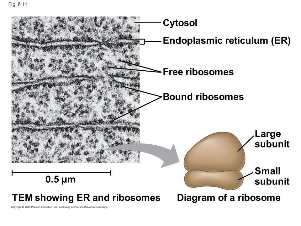 Fig. 6-11 Cytosol Endoplasmic reticulum (ER) Free ribosomes Bound ribosomes Large subunit Small subunit Diagram of a ribosome TEM showing ER and ribos