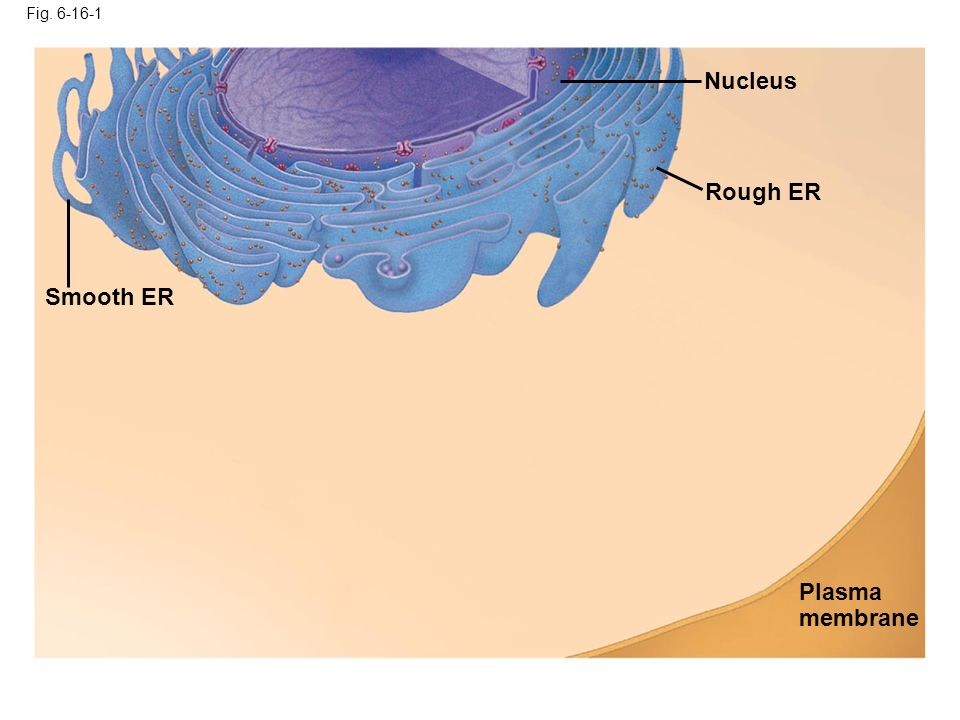 Fig. 6-16-1 Smooth ER Nucleus Rough ER Plasma membrane