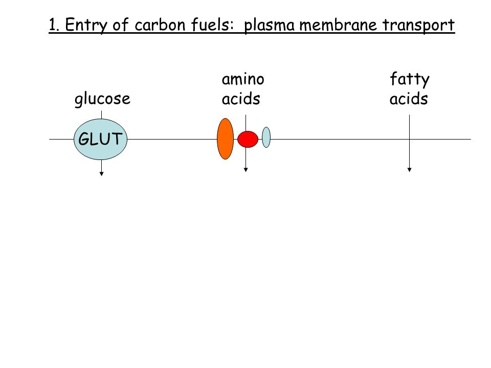 glucose amino acids fatty acids GLUT 1. Entry of carbon fuels: plasma membrane transport