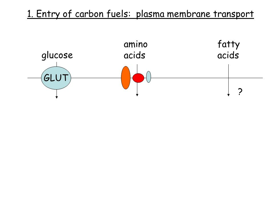 glucose amino acids fatty acids GLUT ? 1. Entry of carbon fuels: plasma membrane transport