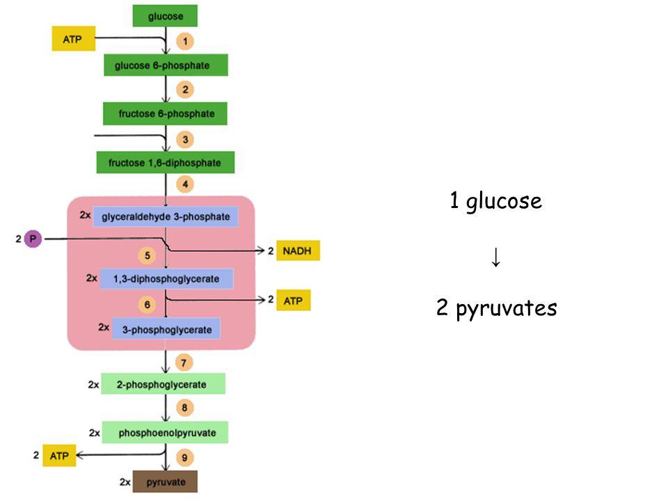 1 glucose ↓ 2 pyruvates